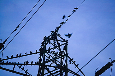 Jackdaws and rooks lined up on a electricity pylon, prior to roosting, Ulverston, Cumbria, United Kingdom, Europe