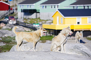 Inuit husky sled dogs in front of traditional colourful Greenlandic houses in Ilulissat on Greenland, Polar Regions