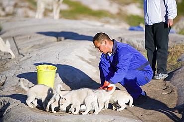 Inuit sled dog husky puppies in Ilulissat on Greenland, Polar Regions