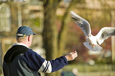 Feeding birds at Waterhead on Lake Windermere, Lake District, Cumbria, England, United Kingdom, Europe