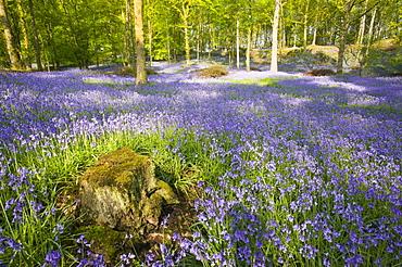 A bluebell wood near Ambleside, Lake District National Park, Cumbria, England, United Kingdom, Europe