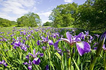 Purple iris in the Trossachs, Scotland, United Kingdom, Europe
