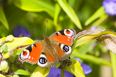 A small peacock butterfly feeding on a flower, United Kingdom, Europe - 911-2440