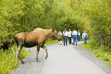 Moose being watched by tourists in Kenai Fjords National Park in Alaska, United States of America, North America