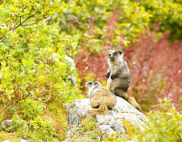 Hoary marmots in the Kenai Fjords National Park in Alaska, United States of America, North America