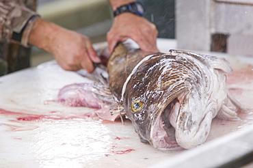 Filleting a Ling Cod in Seward, Alaska, United States of America, North America