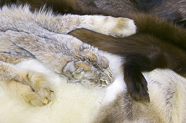 Wolf lynx and wolverine skins in a shop in Fairbanks, Alaska, United States of America, North America