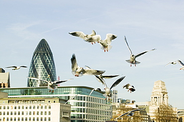 Black headed gulls over the Thames in front of the Swiss Re Tower in London, England, United Kingdom, Europe