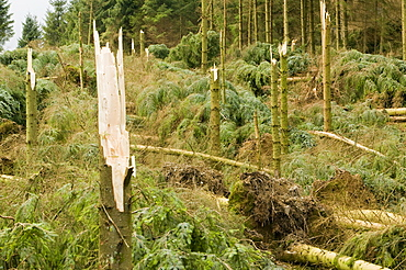 Trees snapped off in the high winds and storms of January 2005, Cumbria, England, United Kingdom, Europe