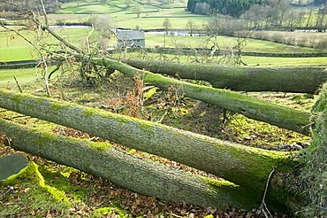 Trees uprooted in the high winds and storms of January 2005, Cumbria, England, United Kingdom, Europe