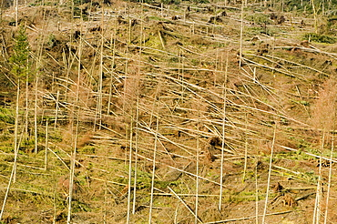 Trees blown over in a plantation on Black Fell in the severe storms in January 2005, near Ambleside, Cumbria, England, United Kingdom, Europe