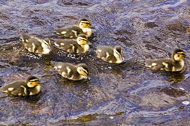 Mallard ducklings, United Kingdom, Europe
