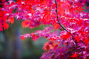 Autumn colours at Thorp Perrow Arboretum in Yorkshire, England, United Kingdom, Europe