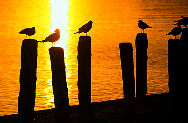 Gulls on a jetty at sunset, Lake Windermere, Lake District, Cumbria, England, United Kingdom, Europe