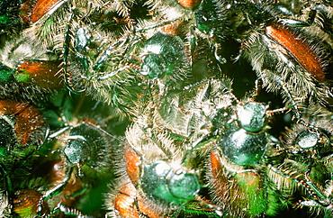 Bracken clot beetles emerging in summer in the Lake District, Cumbria, England, United Kingdom, Europe