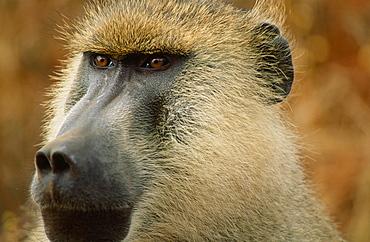 A male baboon in Kenya, East Africa, Africa