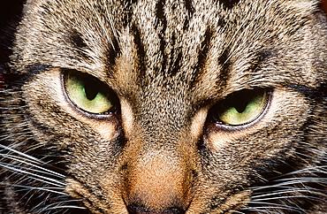 A close up of a domestic cat