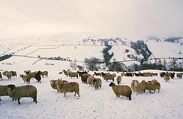 Sheep in winter snow on Kirkstone Pass in the Lake District National Park, Cumbria, England, United Kingdom, Europe