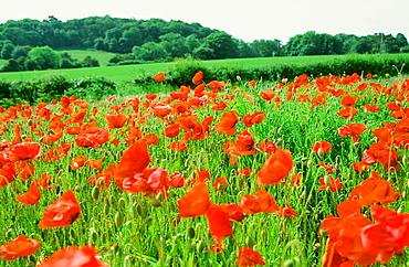 Poppies in a fallow field near Cley, Norfolk, England, United Kingdom, Europe