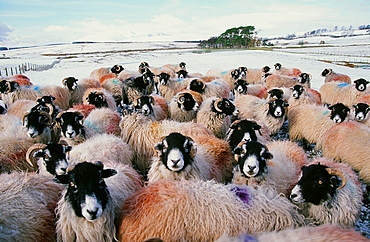 Sheep in the snow in the Lake District, Cumbria, England, United Kingdom, Europe