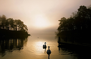 Swans on Windermere in the Lake District National Park, Cumbria, England, United Kingdom, Europe