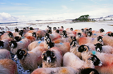 Sheep in winter snow in the Lake District, Cumbria, England, United Kingdom, Europe