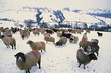 Sheep in winter snow above Ambleside in the Lake District, Cumbria, England, United Kingdom, Europe