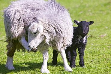A Herdwick sheep and lamb, Lake District, Cumbria, England, United Kingdom, Europe