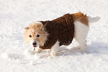 A dog playing in the snow in Ambleside,Cumbria, England, United Kingdom, Europe