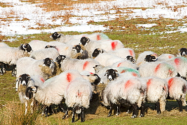 Sheep in winter snow on Kirkstone Pass near Ambleside in the Lake District National Park, Cumbria, England, United Kingdom, Europe