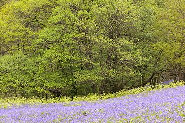 Bluebell woodland near Coniston, Lake District, Cumbria, England, United Kingdom, Europe