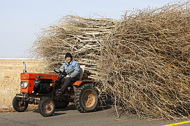 Chinese farmers haul a huge wide load of wood using a tiny tractor in Heilongjiang province, Northern China, Asia