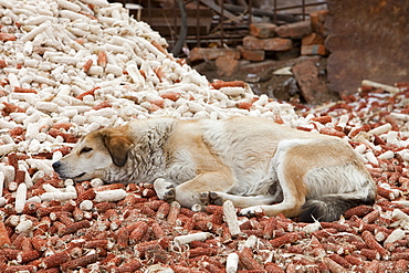 A dog lies on dried out corn husks in northern China, Asia