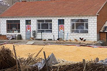 Maize drying in Heilongjiang Province, northern China, Asia