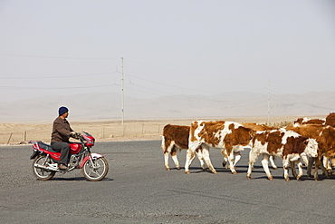A Chinese farmer herds his cows on a motorbike in Inner Mongolia, Nothern China, Asia