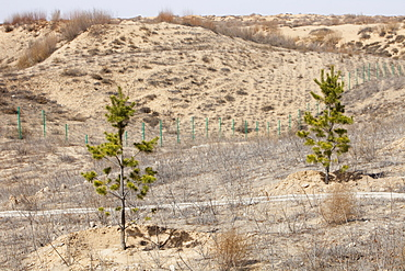 Trees planted to try to halt the spread of sand dunes in Inner Mongolia, China, Asia