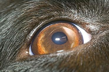 A Border Collie dogs eye