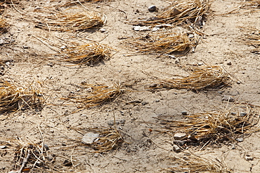 Withered crops dry up and die near Beijing, China, Asia