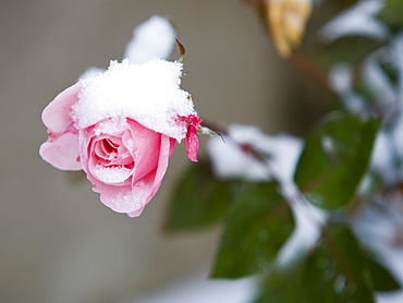 A rose with snow on it