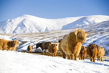 Highland cattle on the side of Kirkstone Pass with the Kentmere Fells of Ill Bell and Yoke in the Lake District, Cumbria, England, United Kingdom, Europe