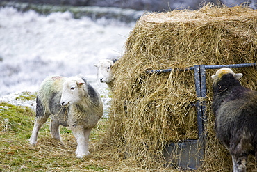 Herdwick sheep feeding on hay during a cold snap near Tarn Hows in the Lake District, Cumbria, England, United Kingdom, Europe