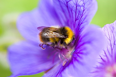 Bumblebee feeding on garden plants, United Kingdom, Europe
