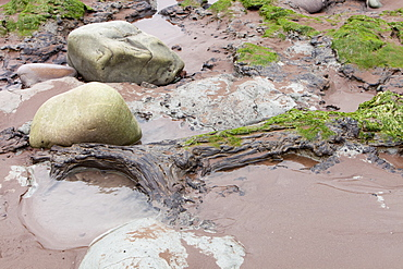 Tree trunks preserved in a submarine forest revealed at low tide at Porlock Weir in Somerset, England, United Kingdom, Europe