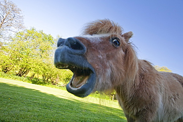 A miniature Shetland pony grazing in a field in Berrynarbor, North Devon, England, United Kingdom, Europe