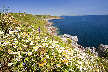Wildflowers growing on the sea cliffs near Lamorna Cove near Mousehole in Cornwall, England, United Kingdom, Europe
