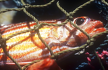 A fish caught in a fishing net