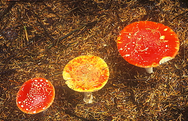 Fly Agaric mushrooms in Cumbria, England, United Kingdom, Europe