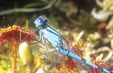 A damselfly caught on Sundew, an insectivorous plant, Ambleside, Cumbria, England, United Kingdom, Europe
