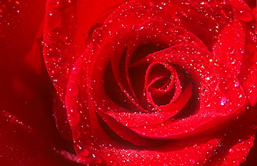 A red rose with rain drops on