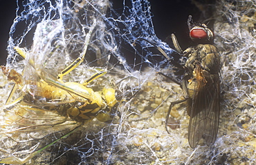 Flies caught in a spider's web and stored in its larder for later consumption
